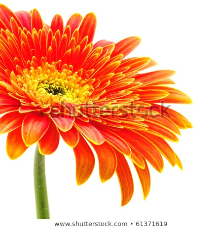 One orange flower with dew Stock photo © boroda