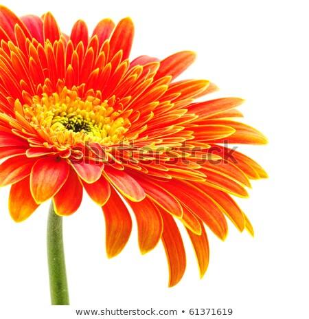 arancione · fiore · isolato · bianco · primo · piano · studio - foto d'archivio © boroda