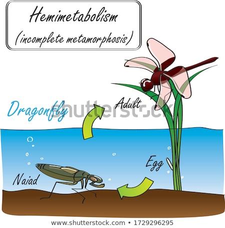 dragonfly larva Stock photo © Sarkao