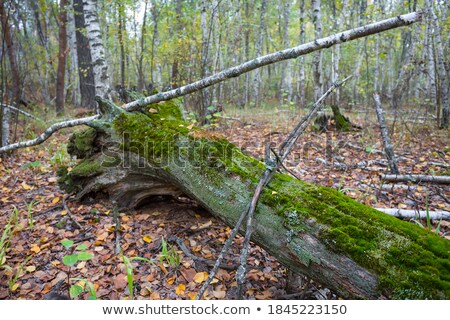 Amazing grove  covered by autumnal carpet. Stock photo © lypnyk2