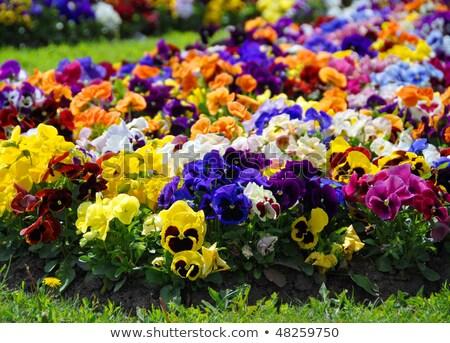Heartsease, flower garden - close-up  Stock photo © dacasdo