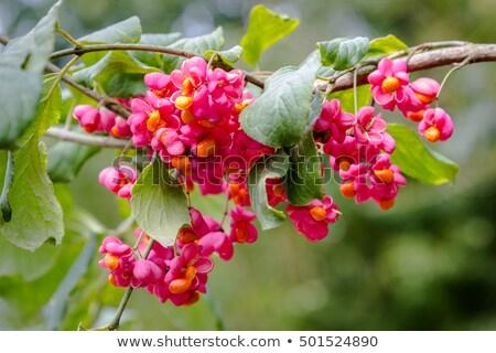 spindle tree euonymus europaeus stock photo © elenarts