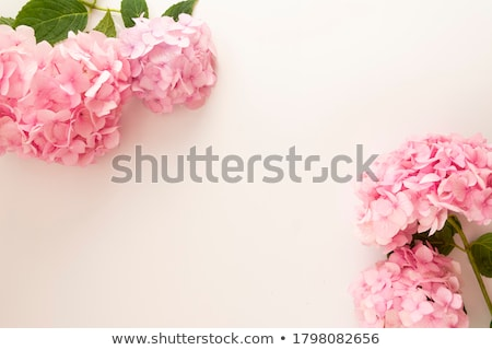 Pink Hydrangea Stock photo © wolterk