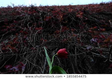 Farklı lale resimleri kolaj doğa manzara Stok fotoğraf © taden