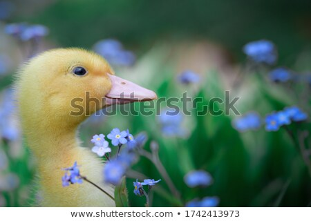 mallard ducks and flowers stock photo © elenarts