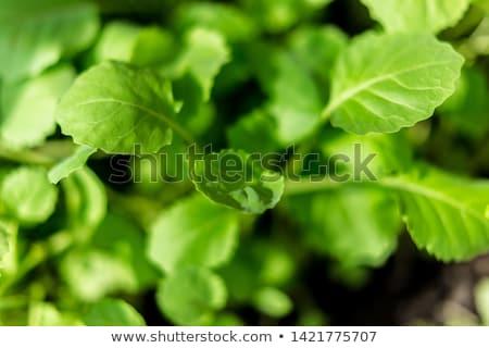 здорового молодые брокколи завода растущий саду Сток-фото © Virgin