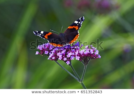 Red Admiral Stock photo © tilo