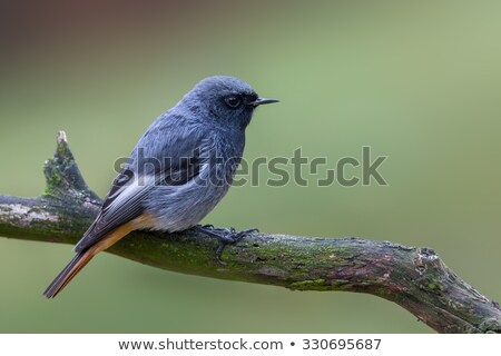 black redstart phoenicurus ochruros stock photo © lightpoet
