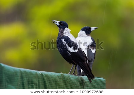 australian magpie gymnorhina tibicen stock photo © dirkr