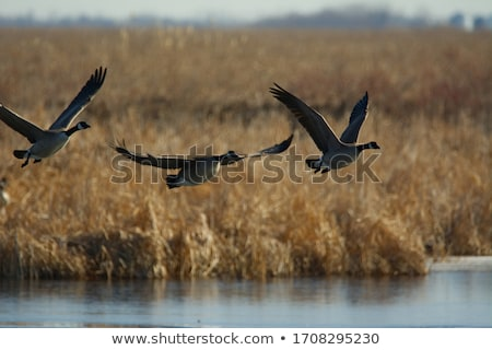 Canada Geese Taking Off Stock photo © brianguest