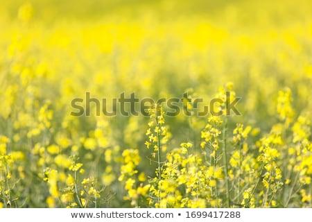 Viol fleurs domaine paysage lumière du soleil photo Photo stock © raywoo