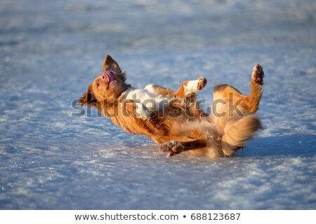 Golden Retriever puppy rolling over floor, laying upside down Stock photo © milsiart
