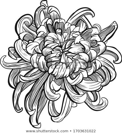 美しい モノクロ 菊 孤立した 白 挨拶 ストックフォト © frescomovie