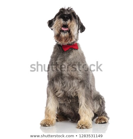 gentleman schnauzer sits and looks up while panting Stock photo © feedough