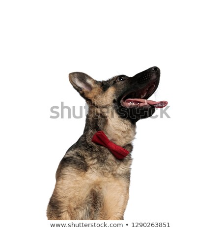 close up of stylish german shepard looking up to side Stock photo © feedough