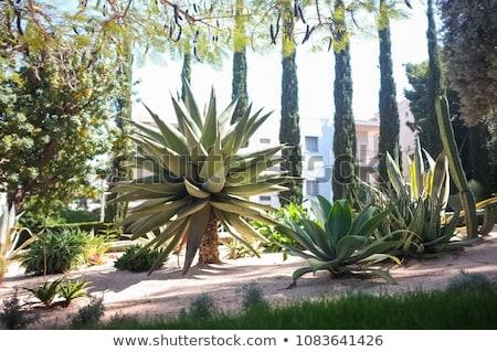 Parco cactus succulente impianto piccolo Foto d'archivio © galitskaya