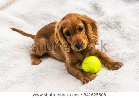 прелестный английский теннисный мяч изолированный белый красоту Сток-фото © vauvau