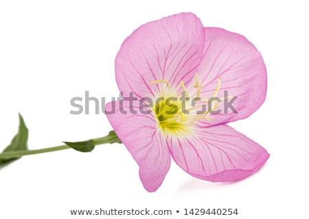 Izolált rózsaszín kankalin virág közelkép zöld Stock fotó © manfredxy