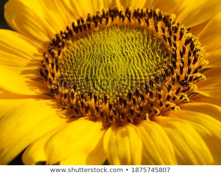 helianthus Stock photo © leedsn