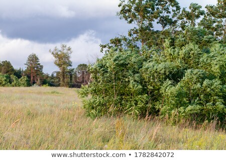 Branch of white acacia and beautiful rural landscape. Stock photo © lypnyk2
