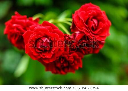 Güller tanımlama alan Stok fotoğraf © ChrisJung