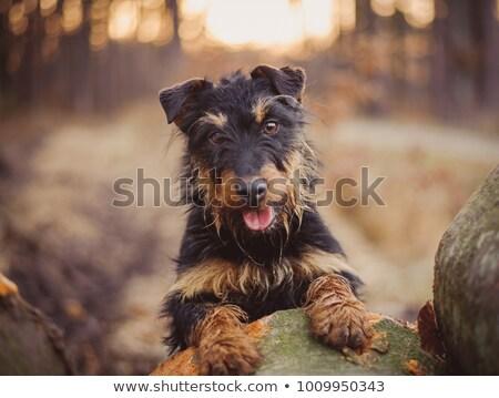 German Hunting Terrier Stock photo © CaptureLight