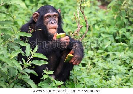 şempanze · çim · kadın · oturma · bakıyor · kamera - stok fotoğraf © kmwphotography