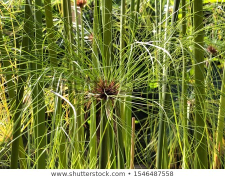 Paper reed plant Stock photo © AlessandroZocc