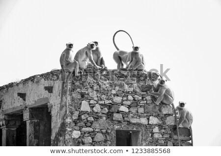 entellus monkeys on building top in india stock photo © mikko