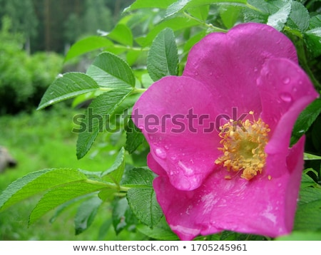 rugosa rose stock photo © arenacreative