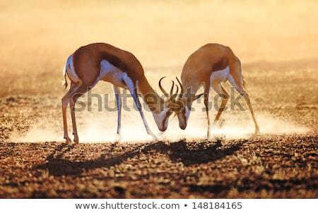 Fighting Springbok (Antidorcas marsupialis) Stock photo © dirkr