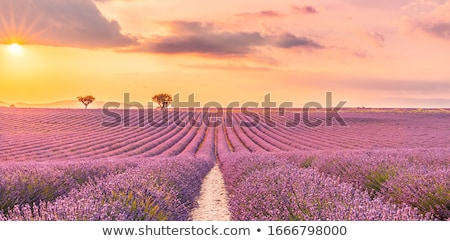 Foto stock: Borboleta · campo · de · lavanda · pequeno · branco · paisagem · campo