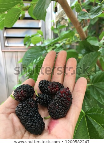 Closeup of many mulberry fruits Stock photo © bbbar