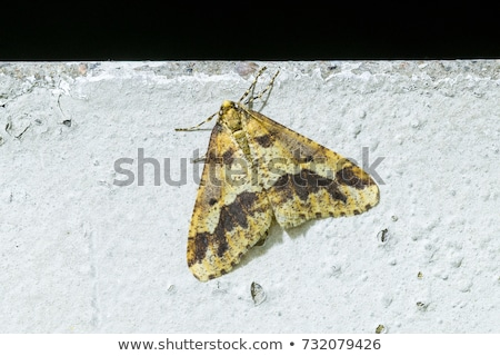 Stock photo: Mottled Umber (Erannis defoliaria)
