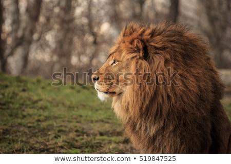 Portret koning leeuw natuur zomer dag Stockfoto © OleksandrO