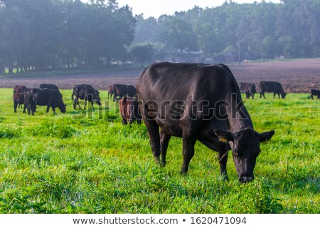 Black Cow Grazing stock photo © rhamm