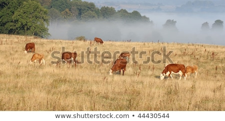 Danish cows in the fog Stock photo © jeancliclac