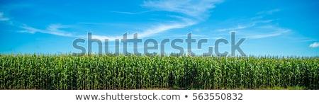 Fresh green corn crops on a field Stock photo © Sportactive