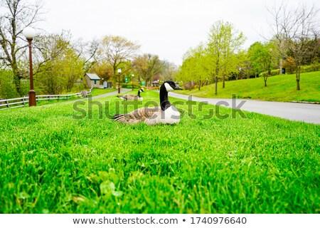 ガチョウ · カナダ · 自然 · 鳥 · 屋外 - ストックフォト © njnightsky