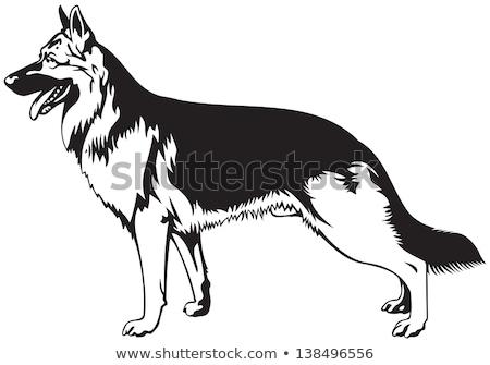 dog breed the German Shepherd Stock photo © OleksandrO
