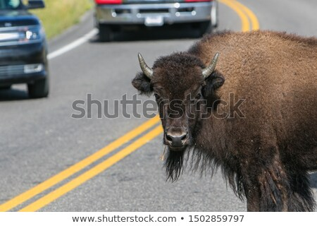lonely bison on the road in yellowstonewyoming usa stock photo © capturelight