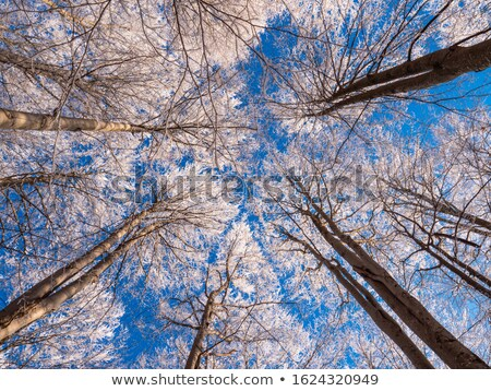 treetop in the winter forest  Stock photo © meinzahn