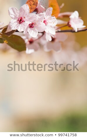 Beautiful early spring flowers basking in sunlight. Stock photo © lithian