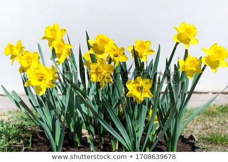 narcissen · Geel · gekleurd · Pasen · wenskaart · bloem - stockfoto © zhekos
