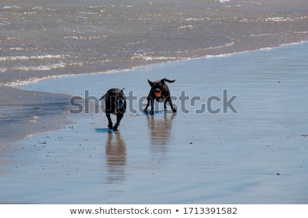 Two dogs chasing ball Stock photo © raywoo