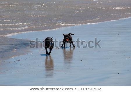 собака · мяча · английский · бульдог · трава · осуществлять - Сток-фото © raywoo