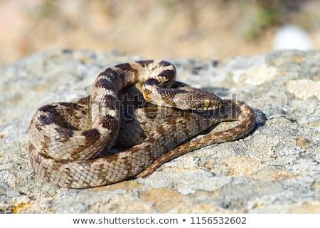 Kedi yılan tam uzunlukta çocuk sürüngen doğal Stok fotoğraf © taviphoto