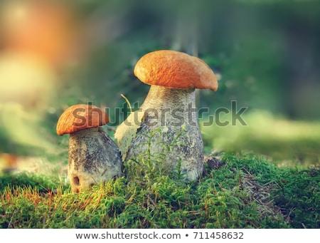 樺 · ヤマドリタケ属の食菌 · 森林 · 秋 · 緑 · 工場 - ストックフォト © lianem