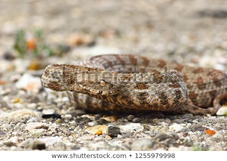 aggressive blunt nose viper stock photo © taviphoto