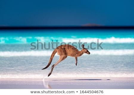 Kenguru illusztráció közelkép boldog természet ugrás Stock fotó © colematt
